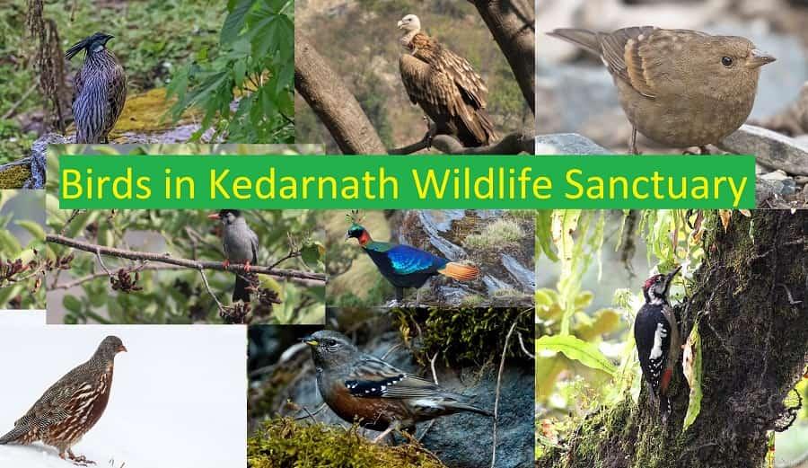 Birds Kedarnath Wildlife Sanctuary
