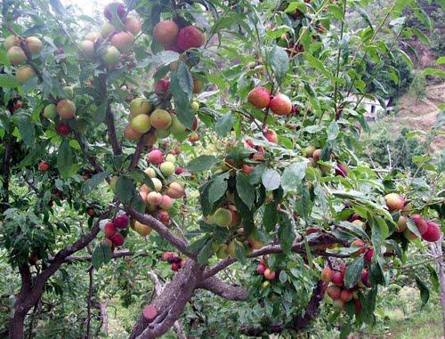 Peach Tree, Barkot